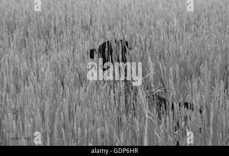 dog chasing cat in a cornfield