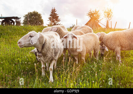 Small herd of sheep grazing in field - Stock Photo