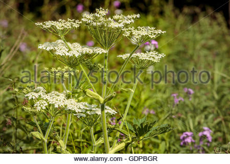 Giant Hogweed, Heracleum mantegazzianum, a poisonous plant growing in Rouge National Urban Park in Toronto Ontario - Stock Photo