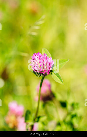 Blooming Wildflowers Of Alsike Clover Or Trifolium Hybridum In Summer Spring Field At Sunset Sunrise. Close Up, - Stock Photo