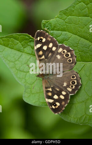 Speckled wood butterfly close up - Stock Photo