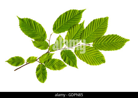 American hornbeam leaves on branch cut out. - Stock Photo
