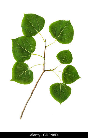 Quaking aspen leaves close up cut out on white background - Stock Photo