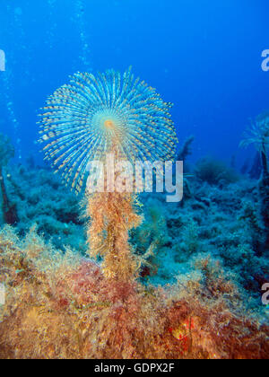 Giant Fan Worm (Sabella spallanzani) on the wreck of the P29. - Stock Photo