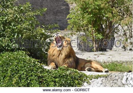 Male Lion (Panthera Leo) yawning in Warsaw Zoo Poland Europe - Stock Photo