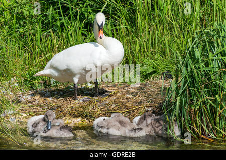 Natural image of a Mother Swan looking over her cygnets, cygnets are resting in a clear stream. - Stock Photo