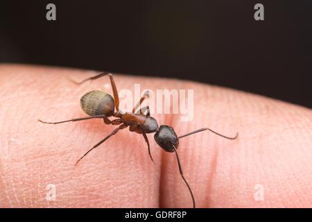 A Ferruginous Carpenter Ant (Camponotus chromaiodes) perches on a finger. - Stock Photo