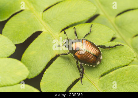 A Japanese Beetle (Popillia japonica) perches on a fern leaf. - Stock Photo