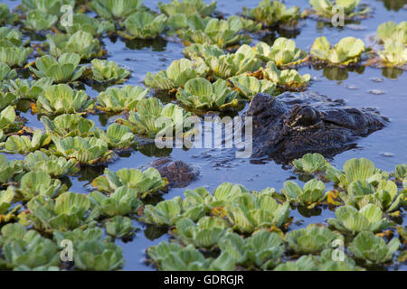 American Alligator (Alligator mississippiensis) submerged in pond and water lettuce - Stock Photo