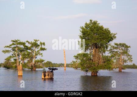 Anhinga (Anhinga anhinga leucogaster) drying wings on a bald cypress (Taxodium distichum) stump in Atchafalaya Swamp - Stock Photo
