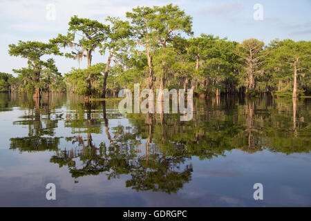 Bald cypress (Taxodium distichum) trees in Atchafalaya Swamp, the largest wetland in the United States - Stock Photo