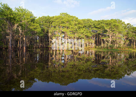Bald cypress (Taxodium distichum) trees in Atchafalaya Swamp, the largest wetland in the United States. - Stock Photo
