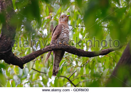 Indian cuckoo Cuculus micropterus Birds of Thailand - Stock Photo