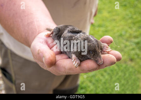 Dead mole in a hand, garden background - Stock Photo