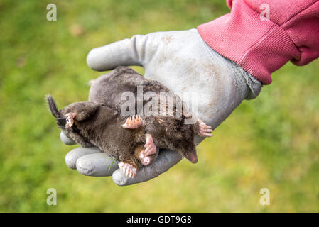 Dead moles in a gloved hand, garden background - Stock Photo