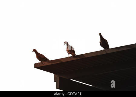 Silhouetted three pigeons standing on wooden roof in dark color with soft sunlight which isolated from white bright - Stock Photo