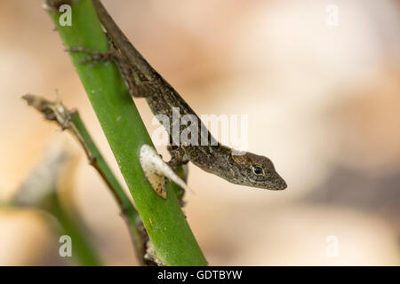 A baby brown anole rests on a rose stem - Stock Photo