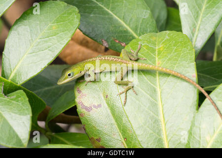 A baby anole rests on bush leaves - Stock Photo