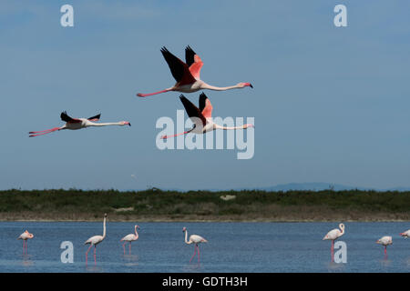 Flying greater flamingos in the wetlands of the Camargue. Provence, France - Stock Photo