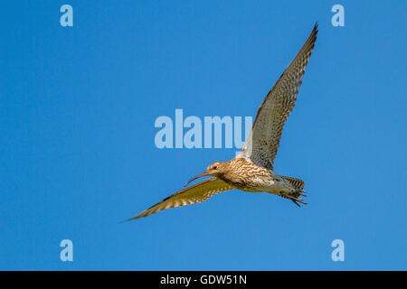 Curlew (numenius arquata) in flight, Yorkshire, UK - Stock Photo