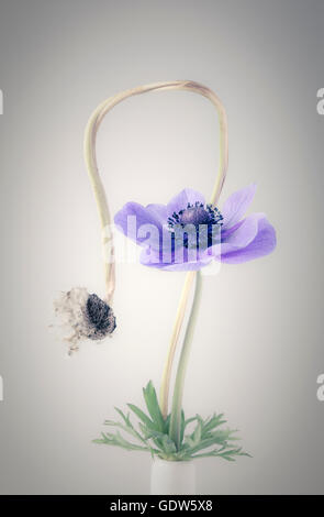 Anemone and Anemone Seed head in Vase - Stock Photo