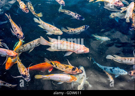 Various medium sized Asian pond fishes like gourami and koi fishes swimming in a large pond. - Stock Photo