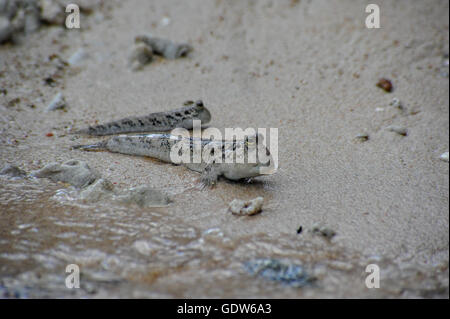 Walking mudskipper fishes living amongs the trees in the West Bali Taman National Park - Stock Photo
