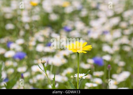 Chrysanthemum segetum. Corn Marigold in a wildflower meadow. Stock Photo