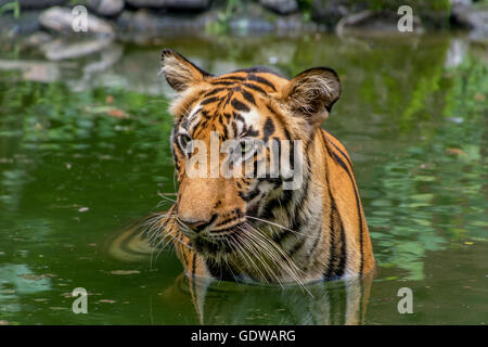 Bengal Tiger half submerged in water of a swamp - close up portrait. - Stock Photo