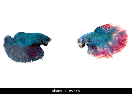 siamese fighting fish isolated on white background - Stock Photo