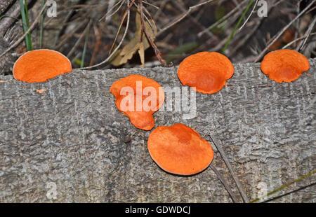 Bracket fungi in salt water