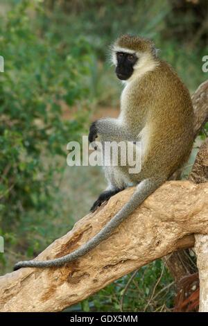 Black-faced vervet monkey sitting in tree, Samburu, Kenya - Stock Photo
