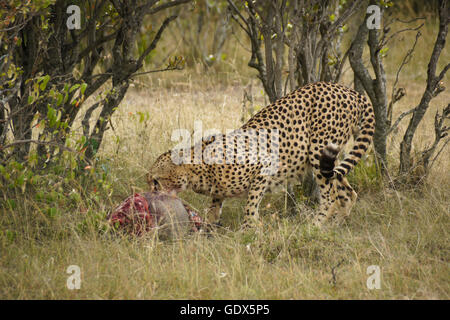 Male cheetah with warthog kill, Masai Mara, Kenya - Stock Photo