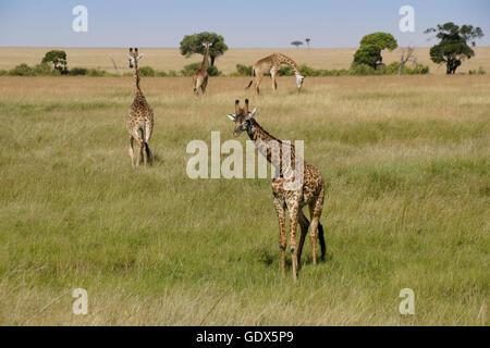 Masai giraffes on the savanna, Masai Mara, Kenya - Stock Photo