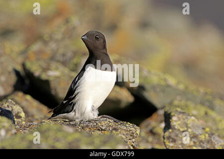 Little Auk perched on a scree mountain side - Stock Photo