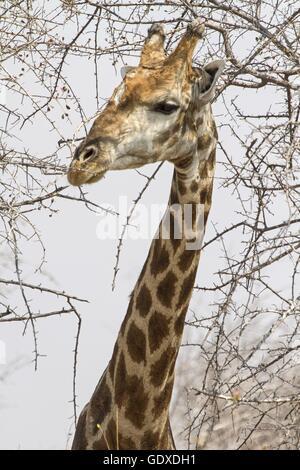 Angola Giraffe - Stock Photo