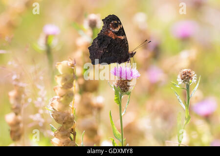 European Peacock butterfly (Aglais io) feeding of flowers in a colorful meadow. - Stock Photo