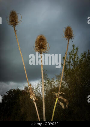 Three Teasels on their stems in front of a stormy sky at Woolston Eyes, Warrington, Cheshire, UK - Stock Photo