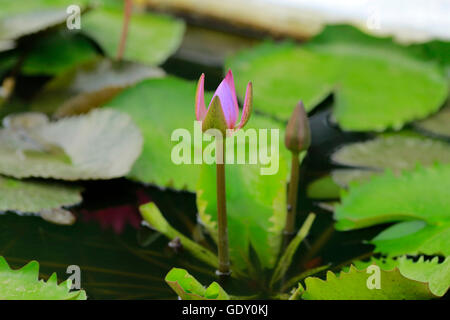 Violet lotus - Stock Photo
