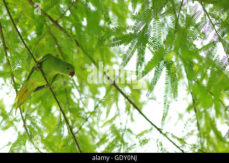 Rose ringed parakeet surrounded by  green leaves - Stock Photo