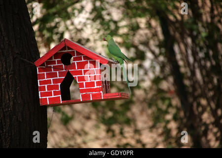 Rose ringed parakeet and the bird house - Stock Photo
