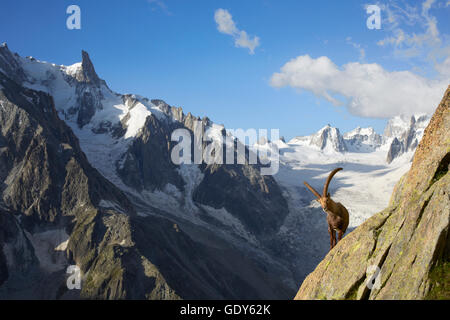 mountain goat close to the couvercle refuge mont blanc range stock photo royalty free image. Black Bedroom Furniture Sets. Home Design Ideas