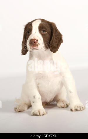 english springer spaniel puppy,liver and white - Stock Photo