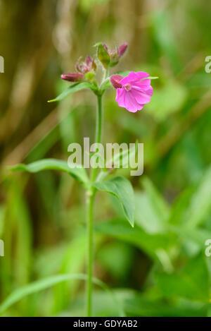 Red Campion, Silene dioica, wildflower, Dumfries & Galloway, Scotland - Stock Photo