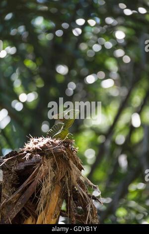Plumed basilisk lizard in national park, Costa Rica - Stock Photo