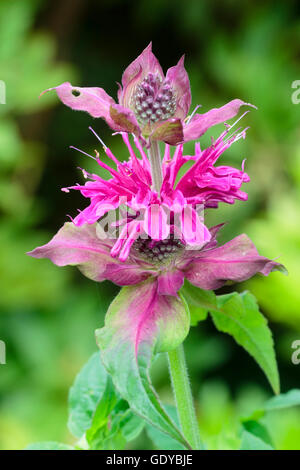 July flowers of the red pink bee balm, Monarda 'Loddon Crown' - Stock Photo
