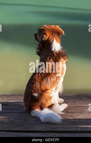 Border collie mongrel sitting on wooden bench, Orinoco Delta, Venezuela - Stock Photo