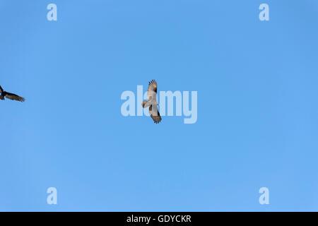 Lesser yellow-headed vulture (Cathartes burrovianus) flying in the blue sky, Orinoco Delta, Venezuela - Stock Photo