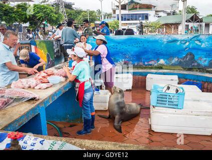 Galapagos sea lion (Zalophus wollebaeki) takes an interest at the Fish market, Puerto Ayora, Santa Cruz Island, - Stock Photo