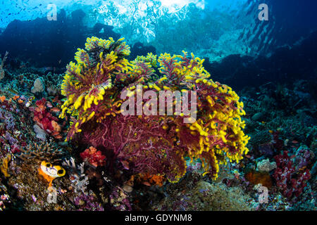 A beautiful gorgonian grows on the edge of a reef in Raja Ampat, Indonesia. This area is known for its high marine - Stock Photo